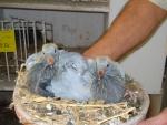 Kweek jonge duiven Jan van Toorn, Kapel-Avezaath voor AMS van der Kruk 2.jpg