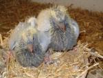 Kweek jonge duiven Jan van Toorn, Kapel-Avezaath voor AMS van der Kruk 3.jpg