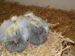 Kweek jonge duiven Jan van Toorn, Kapel-Avezaath voor AMS van der Kruk 4.jpg