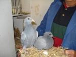 Kweek jonge duiven Jan van Toorn, Kapel-Avezaath voor AMS van der Kruk 9.jpg