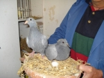 Kweek jonge duiven Jan van Toorn, Kapel-Avezaath voor AMS van der Kruk 10.jpg