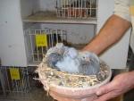 Kweek jonge duiven Jan van Toorn, Kapel-Avezaath voor AMS van der Kruk.jpg